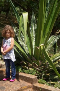 Huge Aloe Vera