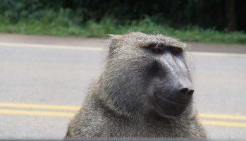 This guy was looking over the truck door. He was big!